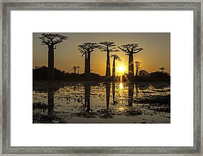 Baobab Sunset Framed Print
