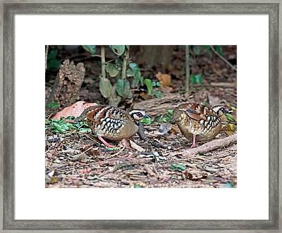 Bar-backed Partridge A. B. Brunneopectus Framed Print