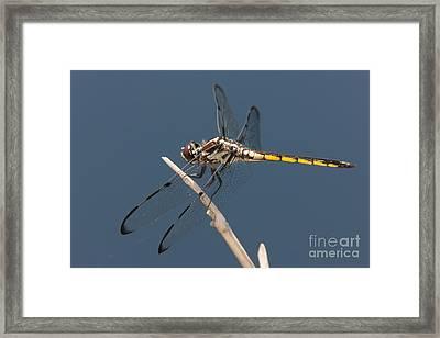 Bar-winged Skimmer Dragonfly I Framed Print