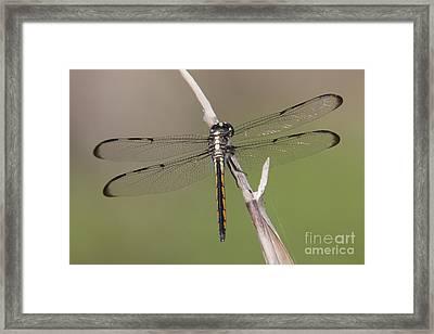 Bar-winged Skimmer Dragonfly II Framed Print