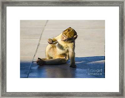 Barbary Ape And Chewing Gum Framed Print by Deborah Smolinske