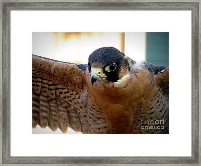 Barbary Falcon Wings Stretched Framed Print by Lainie Wrightson