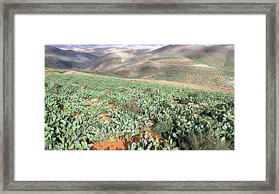 Barbary Fig (opuntia Ficus-indica) Framed Print