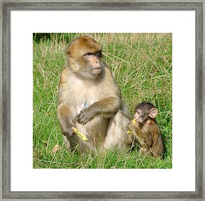 Barbary Macaque And Baby Framed Print by Nigel Downer
