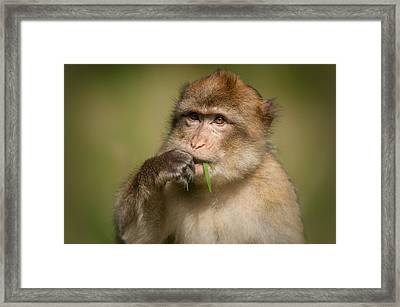 Barbary Macaque Framed Print by Andy Astbury