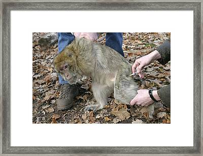 Barbary Macaque Care Framed Print
