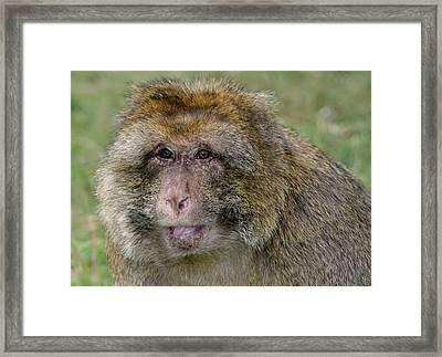 Barbary Macaque Framed Print
