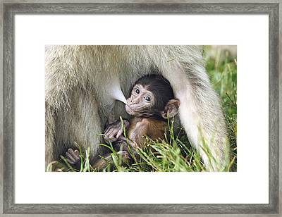 Barbary Macaque Nursing Framed Print