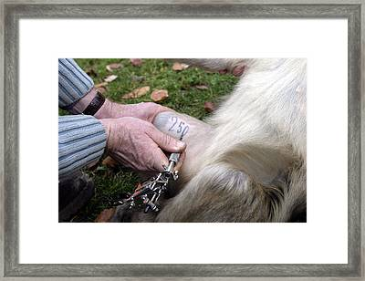 Barbary Macaque Tattoo Framed Print