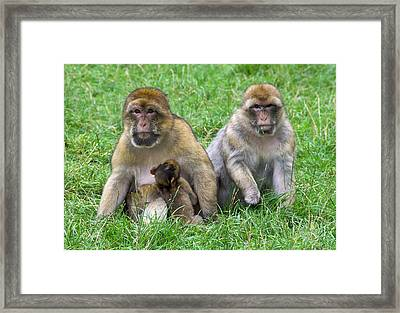 Barbary Macaques And Baby Framed Print