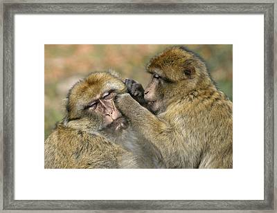 Barbary Macaques Grooming Framed Print by M. Watson
