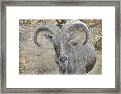 Framed Print featuring the photograph Barbary Sheep by Dyle   Warren