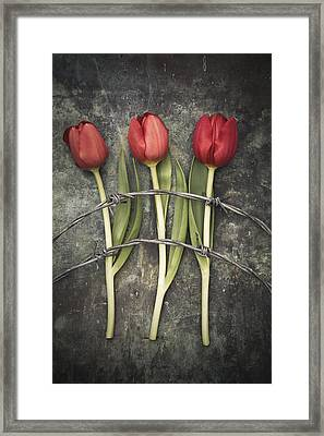 Barbed Wire And Tulip Framed Print by Maria Heyens