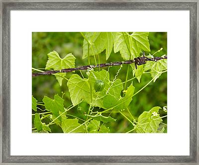Barbwire And Vine Framed Print by Nick Kirby
