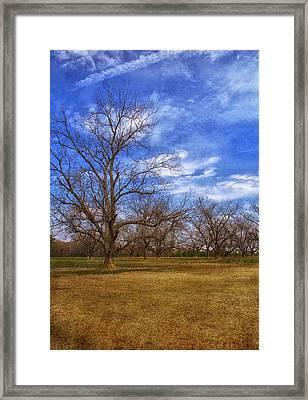 Bare Pecan Trees Framed Print