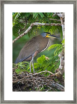 Bare-throated Tiger Heron Tigrisoma Framed Print by Panoramic Images