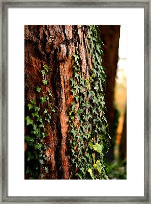 Bark And Ivy Framed Print by Jacqui Collett