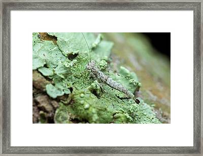 Bark Mantis Nymph Camouflage Framed Print by Melvyn Yeo