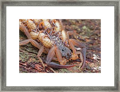 Bark Scorpion With Young Framed Print by Melvyn Yeo