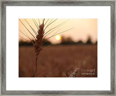 Barley Catches The Setting Sun In Autumn - Pennsylvania Framed Print by Anna Lisa Yoder