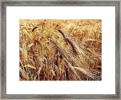 Barley Field Framed Print by Dan Radi