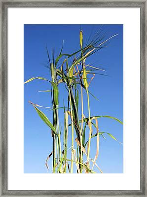 Barley (hordeum Vulgare Framed Print by Nico Tondini