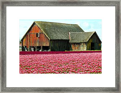 Barn And Tulips Framed Print by Annie Pflueger