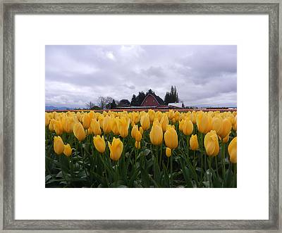Barn And Yellow Tulips Framed Print