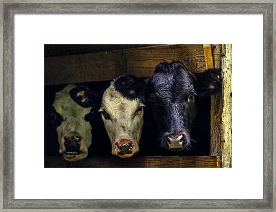 Barn Cows Framed Print by Brian Stevens