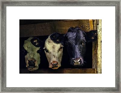 Barn Cows Framed Print