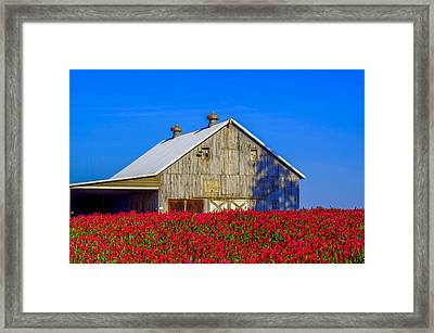 Barn In Red Clover Framed Print by Denise Darby