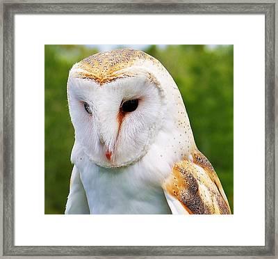 Barn Owl... Framed Print