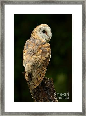 Barn Owl At Twilight Framed Print by Inspired Nature Photography Fine Art Photography