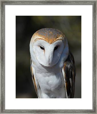 Barn Owl Framed Print by Avian Resources