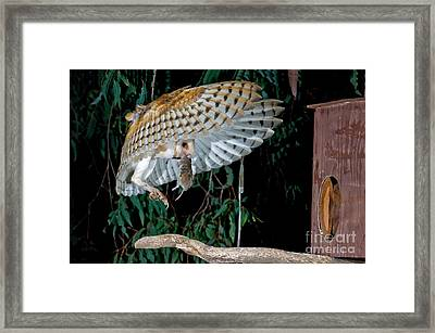 Barn Owl Flying With Mouse Framed Print by Anthony Mercieca