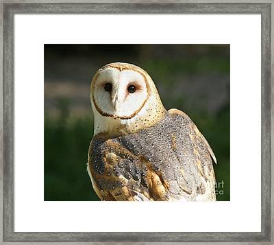 Barn Owl In Bright Sun Framed Print
