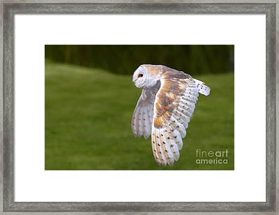 Framed Print featuring the photograph Barn Owl In Flight by Nick  Biemans