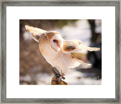 Barn Owl In The Breeze Framed Print by Lori England Zornes