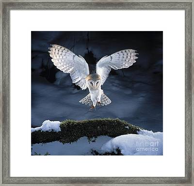 Barn Owl Landing Framed Print by Manfred Danegger