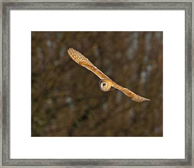 Framed Print featuring the photograph Barn Owl   by Paul Scoullar