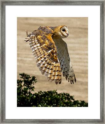 Barn Owl Framed Print by Robert L Jackson