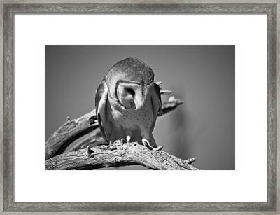 Barn Owl Thoughts  Framed Print