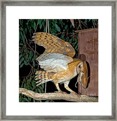 Barn Owl With Prey Framed Print by Anthony Mercieca