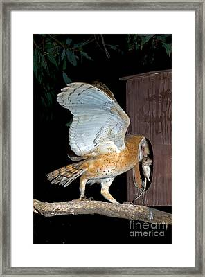 Barn Owl With Rat Framed Print by Anthony Mercieca