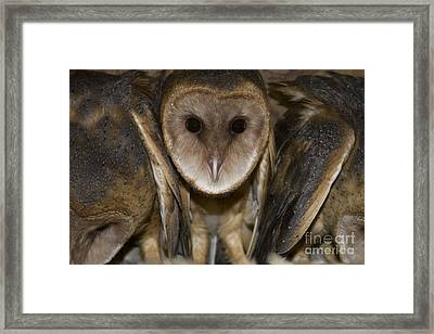 Barn Owls Framed Print