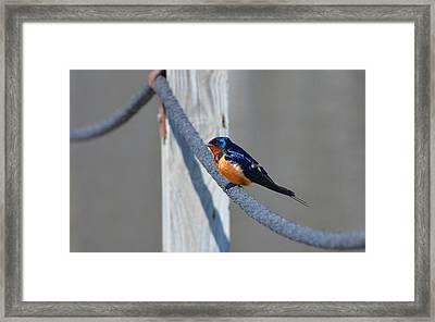 Barn Sparrow Framed Print by Chris Tennis