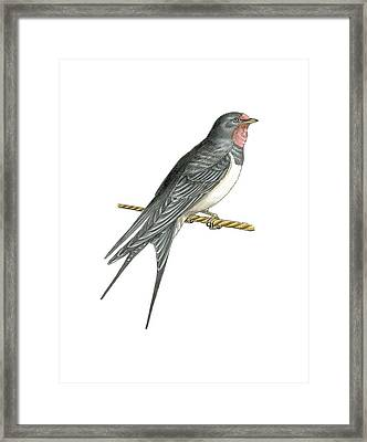 Barn Swallow, Artwork Framed Print by Science Photo Library