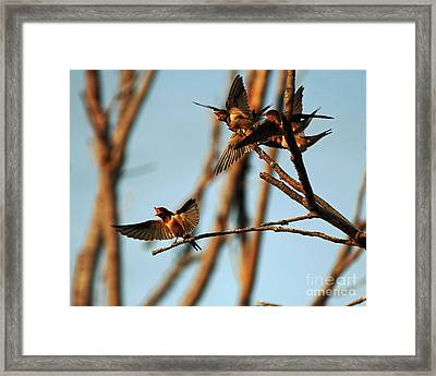 Barn Swallow Babies Framed Print