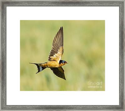 Barn Swallow Framed Print by Carl Jackson