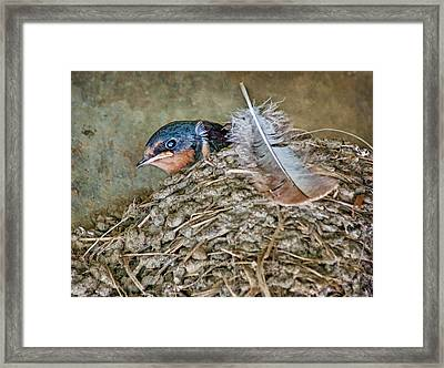 Barn Swallow Fledgling - Baby Bird In Nest Framed Print